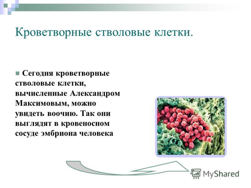 Кроветворные стволовые клетки. Сегодня кроветворные стволовые клетки, вычисленные Александром Максимовым, можно увидеть воочию. Так они выглядят в кровеносном сосуде эмбриона человека