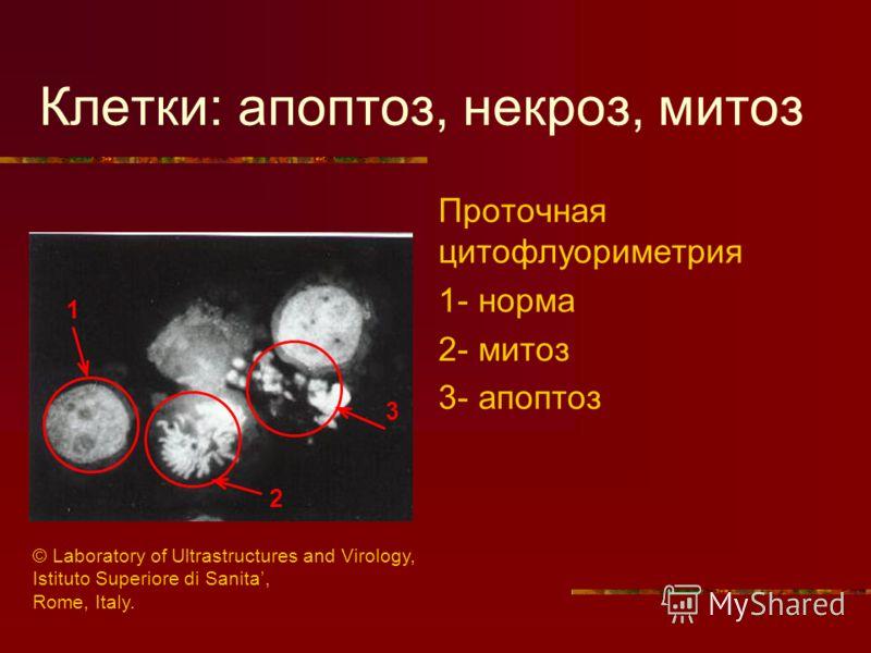 Клетки: апоптоз, некроз, митоз Проточная цитофлуориметрия 1- норма 2- митоз 3- апоптоз 2 1 3 © Laboratory of Ultrastructures and Virology, Istituto Superiore di Sanita, Rome, Italy.