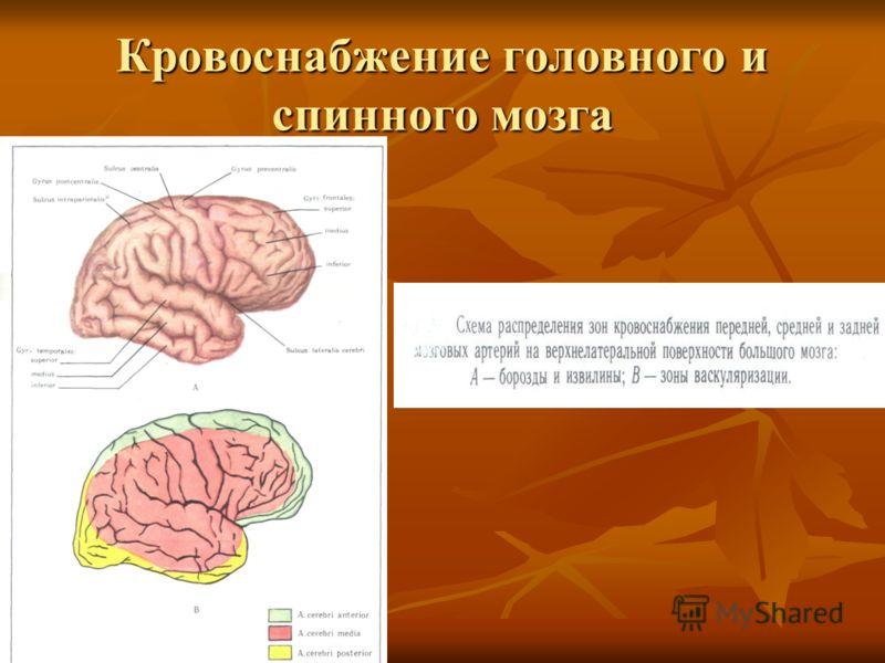 Кровоснабжение головного и спинного мозга