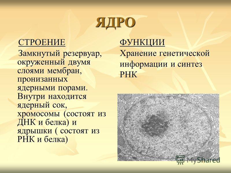 ЯДРО СТРОЕНИЕ СТРОЕНИЕ Замкнутый резервуар, окруженный двумя слоями мембран, пронизанных ядерными порами. Внутри находится ядерный сок, хромосомы (состоят из ДНК и белка) и ядрышки ( состоят из РНК и белка) Замкнутый резервуар, окруженный двумя слоям