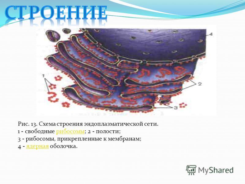 Рис. 13. Схема строения эндоплазматической сети. 1 - свободные рибосомы; 2 - полости;рибосомы 3 - рибосомы, прикрепленные к мембранам; 4 - ядерная оболочка.ядерная