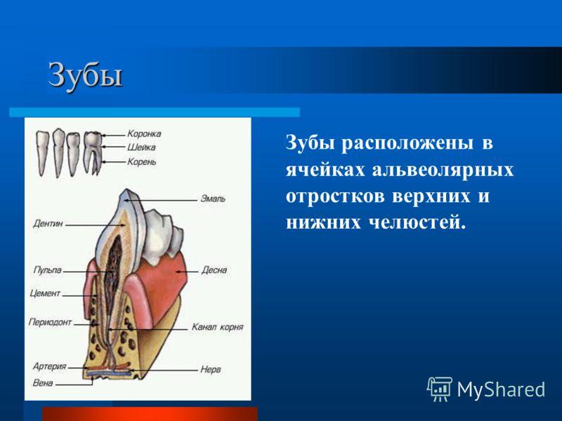 Зубы Зубы расположены в ячейках альвеолярных отростков верхних и нижних челюстей.