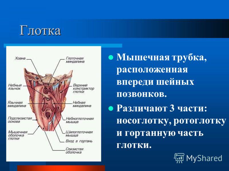 Глотка Мышечная трубка, расположенная впереди шейных позвонков. Различают 3 части: носоглотку, ротоглотку и гортанную часть глотки.
