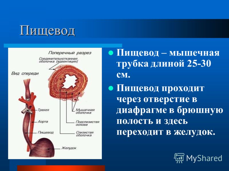 Пищевод Пищевод – мышечная трубка длиной 25-30 см. Пищевод проходит через отверстие в диафрагме в брюшную полость и здесь переходит в желудок.