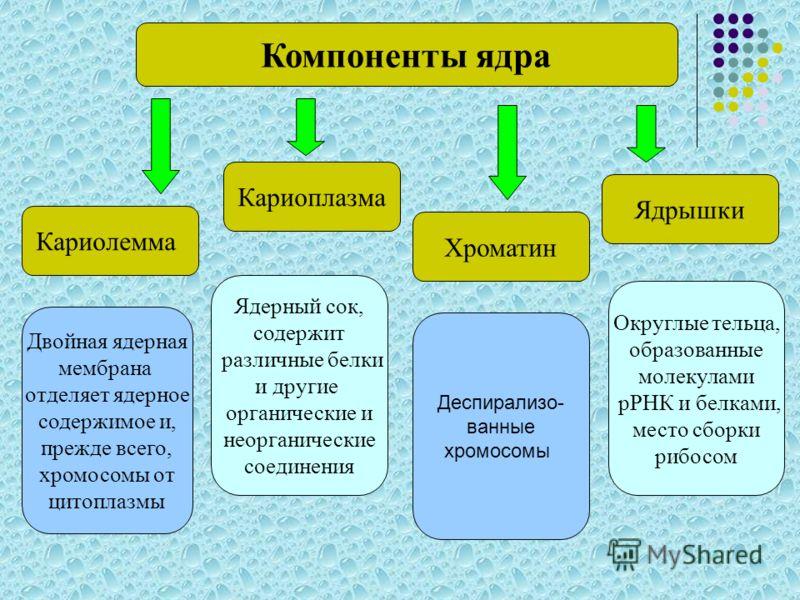Кариолемма Кариоплазма Хроматин Ядрышки Компоненты ядра Двойная ядерная мембрана отделяет ядерное содержимое и, прежде всего, хромосомы от цитоплазмы Ядерный сок, содержит различные белки и другие органические и неорганические соединения Деспирализо-