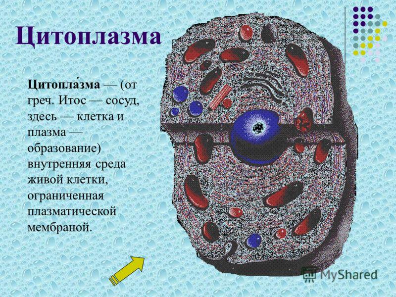 Цитоплазма Цитопла́зма (от греч. Итос сосуд, здесь клетка и плазма образование) внутренняя среда живой клетки, ограниченная плазматической мембраной.