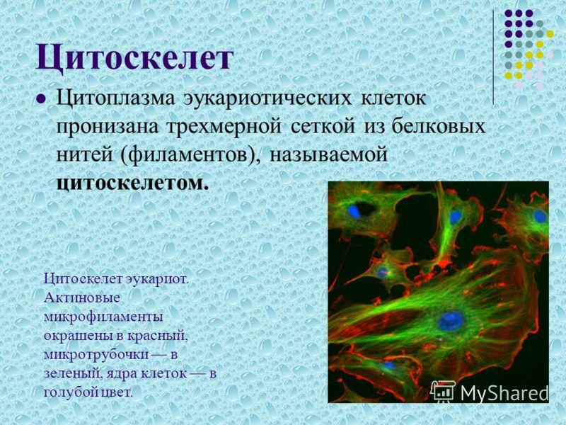 Цитоскелет Цитоплазма эукариотических клеток пронизана трехмерной сеткой из белковых нитей (филаментов), называемой цитоскелетом. Цитоскелет эукариот. Актиновые микрофиламенты окрашены в красный, микротрубочки в зеленый, ядра клеток в голубой цвет.