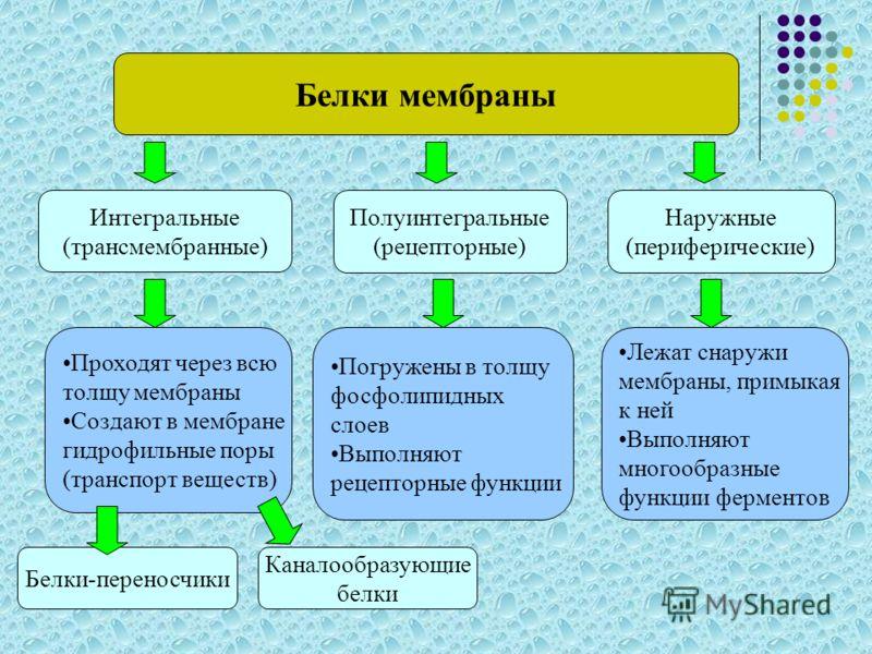 Белки мембраны Интегральные (трансмембранные) Наружные (периферические) Полуинтегральные (рецепторные) Проходят через всю толщу мембраны Создают в мембране гидрофильные поры (транспорт веществ) Погружены в толщу фосфолипидных слоев Выполняют рецептор