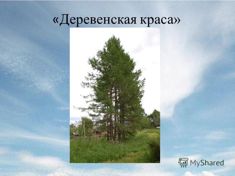 « Деревенская краса»