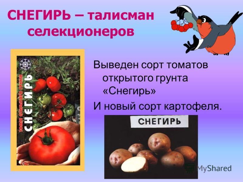 СНЕГИРЬ – талисман селекционеров Выведен сорт томатов открытого грунта «Снегирь» И новый сорт картофеля.
