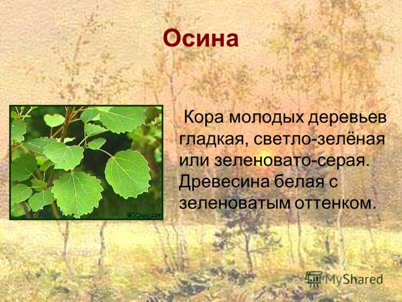 Осина Кора молодых деревьев гладкая, светло-зелёная или зеленовато-серая. Древесина белая с зеленоватым оттенком.