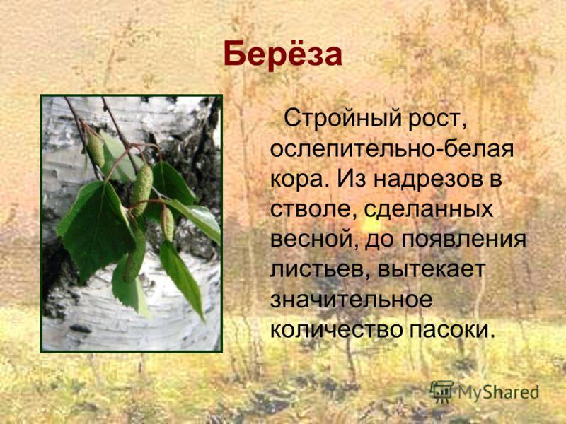 Берёза Стройный рост, ослепительно-белая кора. Из надрезов в стволе, сделанных весной, до появления листьев, вытекает значительное количество пасоки.