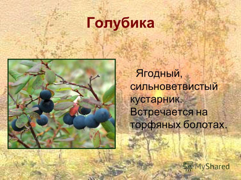 Голубика Ягодный, сильноветвистый кустарник. Встречается на торфяных болотах.