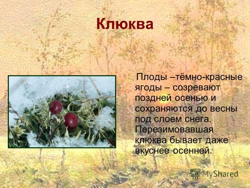 Клюква Плоды –тёмно-красные ягоды – созревают поздней осенью и сохраняются до весны под слоем снега. Перезимовавшая клюква бывает даже вкуснее осенней.