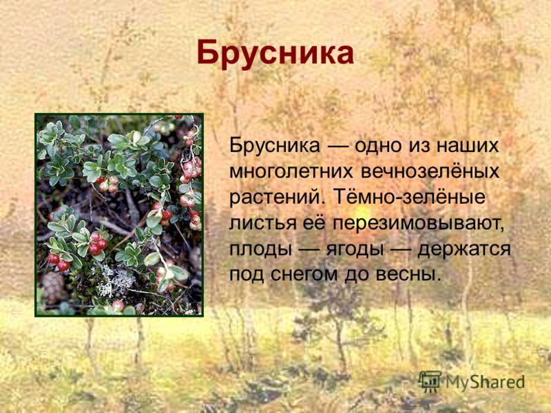 Брусника Брусника одно из наших многолетних вечнозелёных растений. Тёмно-зелёные листья её перезимовывают, плоды ягоды держатся под снегом до весны.
