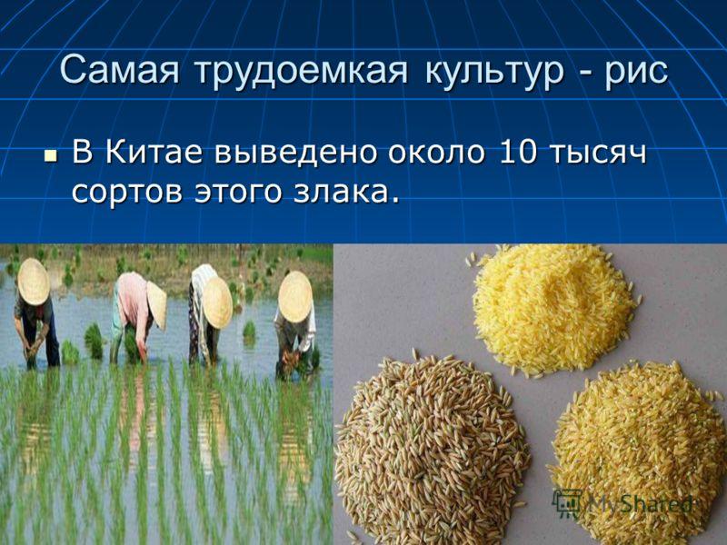 Самая трудоемкая культур - рис В Китае выведено около 10 тысяч сортов этого злака. В Китае выведено около 10 тысяч сортов этого злака.