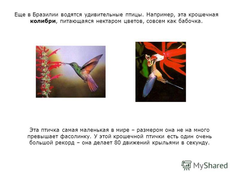 Еще в Бразилии водятся удивительные птицы. Например, эта крошечная колибри, питающаяся нектаром цветов, совсем как бабочка. Эта птичка самая маленькая в мире – размером она не на много превышает фасолинку. У этой крошечной птички есть один очень боль