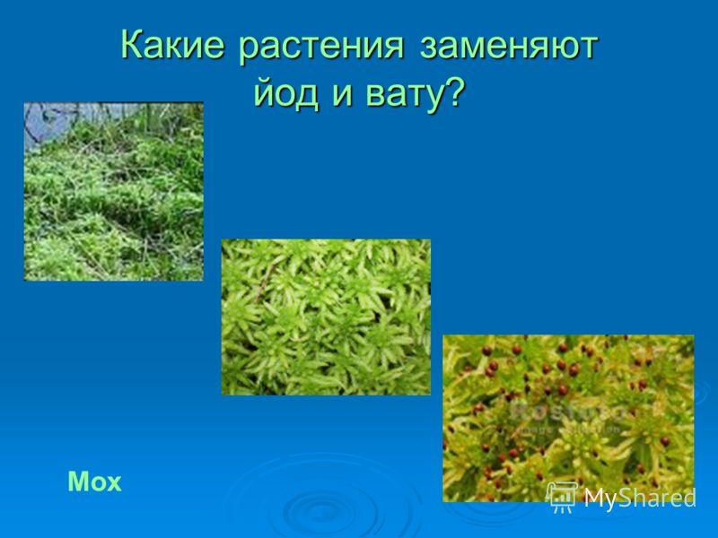 Какие растения заменяют йод и вату? Мох