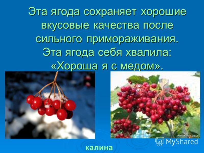 Эта ягода сохраняет хорошие вкусовые качества после сильного примораживания. Эта ягода себя хвалила: «Хороша я с медом». калина