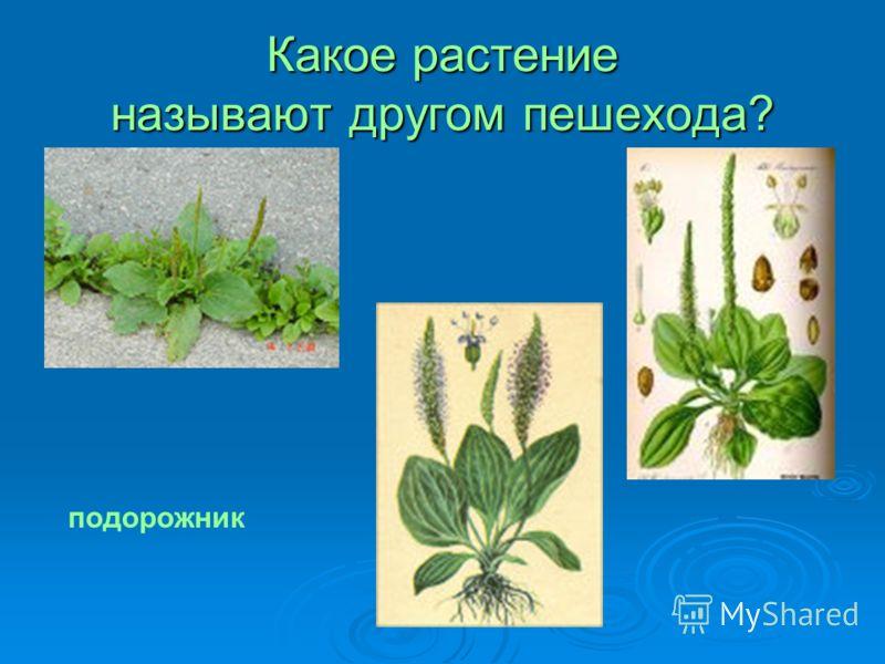Какое растение называют другом пешехода? подорожник