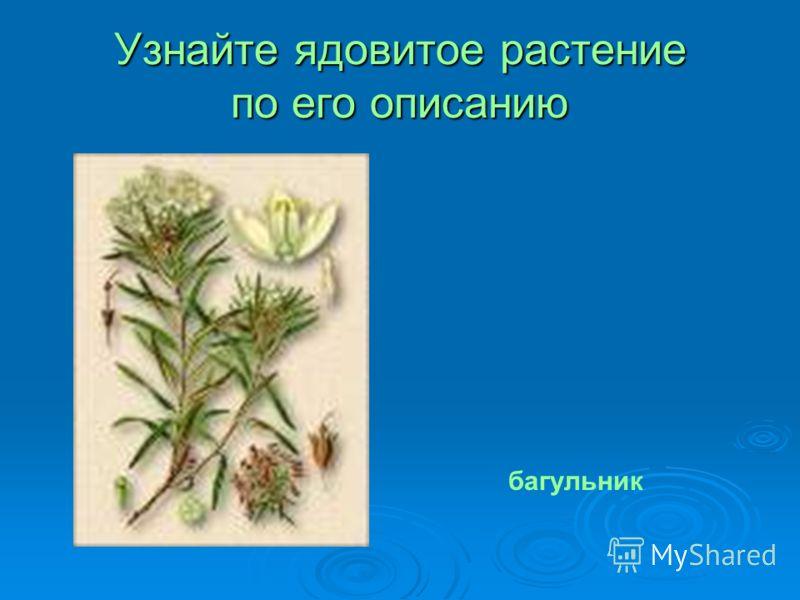 Узнайте ядовитое растение по его описанию багульник