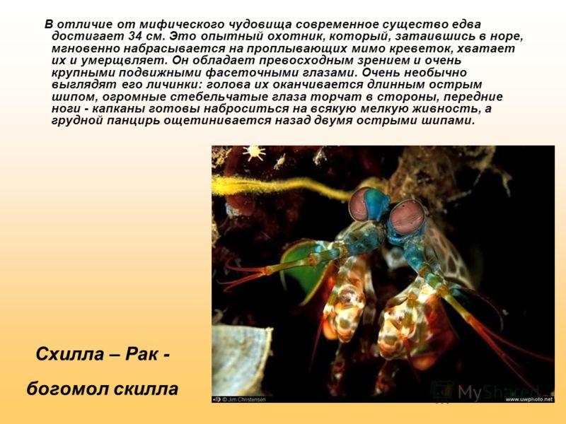 Схилла – Рак - богомол скилла В отличие от мифического чудовища современное существо едва достигает 34 см. Это опытный охотник, который, затаившись в норе, мгновенно набрасывается на проплывающих мимо креветок, хватает их и умерщвляет. Он обладает пр