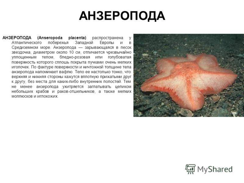 АНЗЕРОПОДА АНЗЕРОПОДА (Anseropoda placenta) распространена у Атлантического побережья Западной Европы и в Средиземном море. Анзеропода зарывающаяся в песок звездочка, диаметром около 10 см, отличается чрезвычайно уплощенным телом, бледно-розовая или
