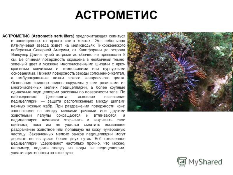 АСТРОМЕТИС АСТРОМЕТИС (Astrometis sertulifera) предпочитающая селиться в защищенных от яркого света местах. Эта небольшая пятилучевая звезда живет на мелководьях Тихоокеанского побережья Северной Америки, от Калифорнии до острова Ванкувер Длина лучей