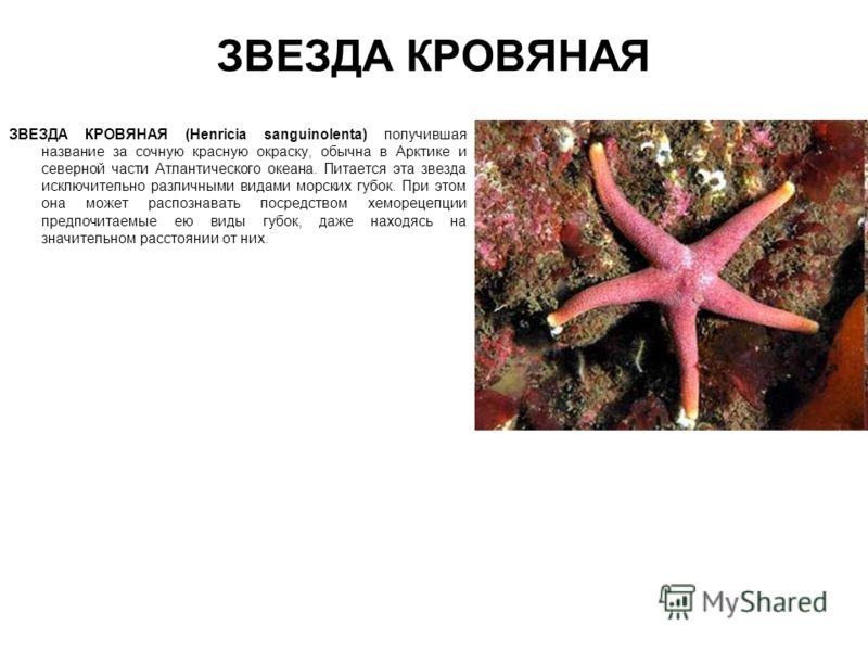 ЗВЕЗДА КРОВЯНАЯ ЗВЕЗДА КРОВЯНАЯ (Henricia sanguinolenta) получившая название за сочную красную окраску, обычна в Арктике и северной части Атлантического океана. Питается эта звезда исключительно различными видами морских губок. При этом она может рас