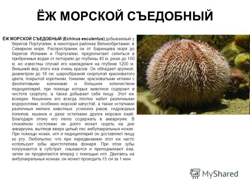 ЁЖ МОРСКОЙ СЪЕДОБНЫЙ ЁЖ МОРСКОЙ СЪЕДОБНЫЙ (Echinus esсulentus) добываемый у берегов Португалии, в некоторых районах Великобритании, в Северном море. Распространен он от Баренцева моря до берегов Испании и Португалии, предпочитает селиться в прибрежны