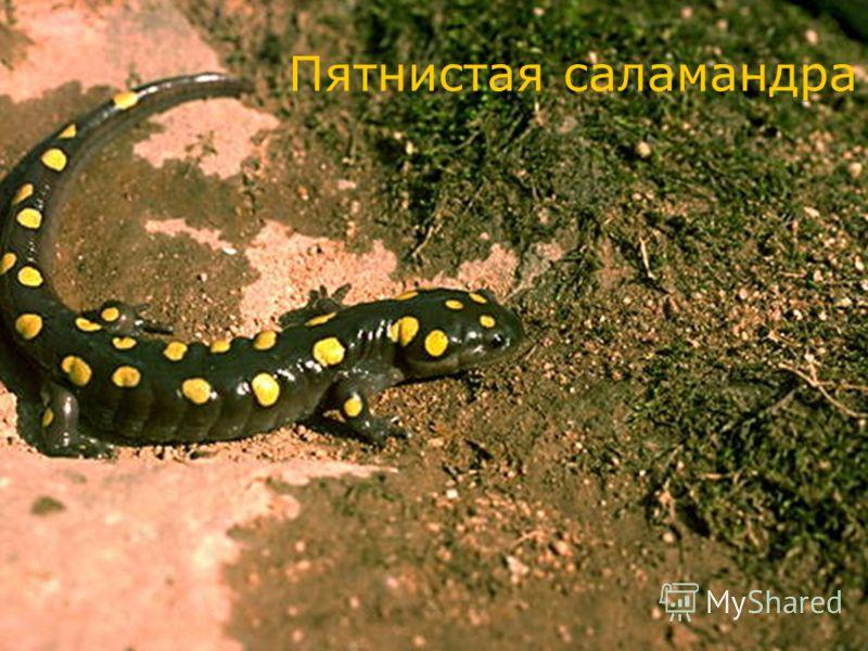Пятнистая саламандра
