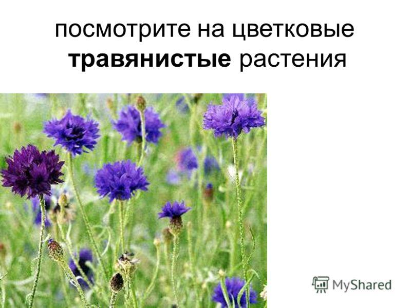 посмотрите на цветковые травянистые растения