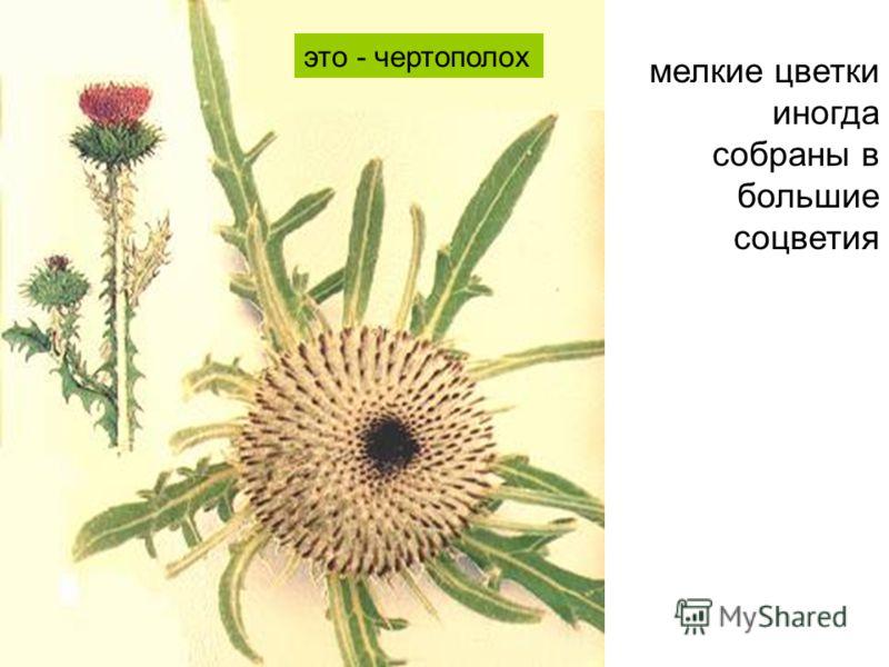 мелкие цветки иногда собраны в большие соцветия это - чертополох