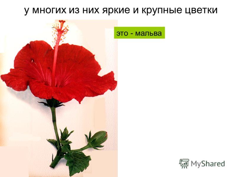 у многих из них яркие и крупные цветки это - мальва