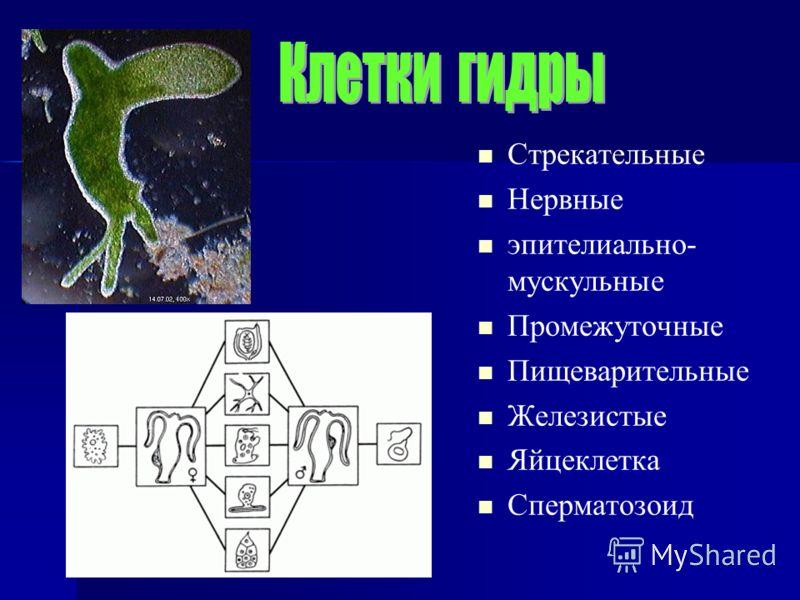 Стрекательные Нервные эпителиально- мускульные Промежуточные Пищеварительные Железистые Яйцеклетка Сперматозоид
