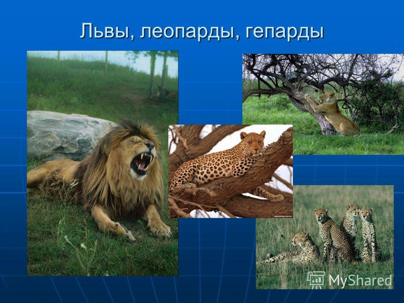 Львы, леопарды, гепарды