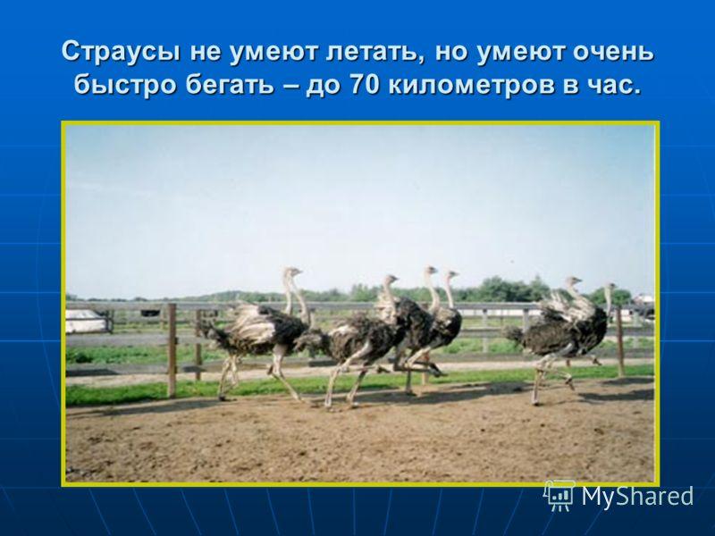 Страусы не умеют летать, но умеют очень быстро бегать – до 70 километров в час.