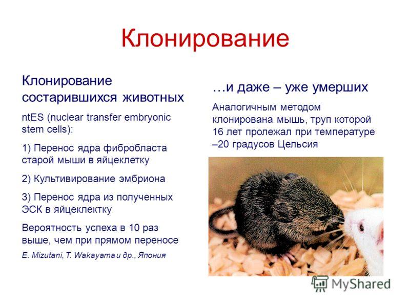Клонирование Клонирование состарившихся животных ntES (nuclear transfer embryonic stem cells): 1) Перенос ядра фибробласта старой мыши в яйцеклетку 2) Культивирование эмбриона 3) Перенос ядра из полученных ЭСК в яйцеклектку Вероятность успеха в 10 ра