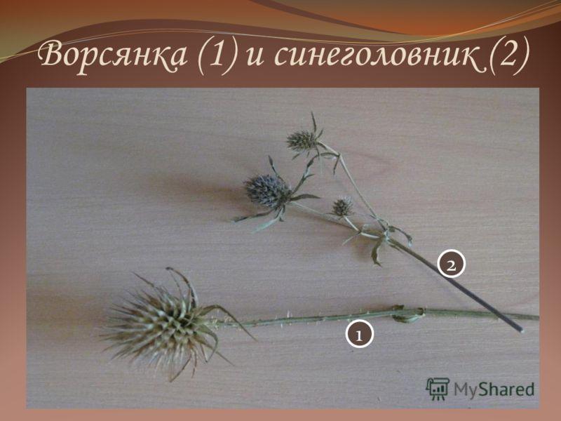 Ворсянка (1) и синеголовник (2) 2 1