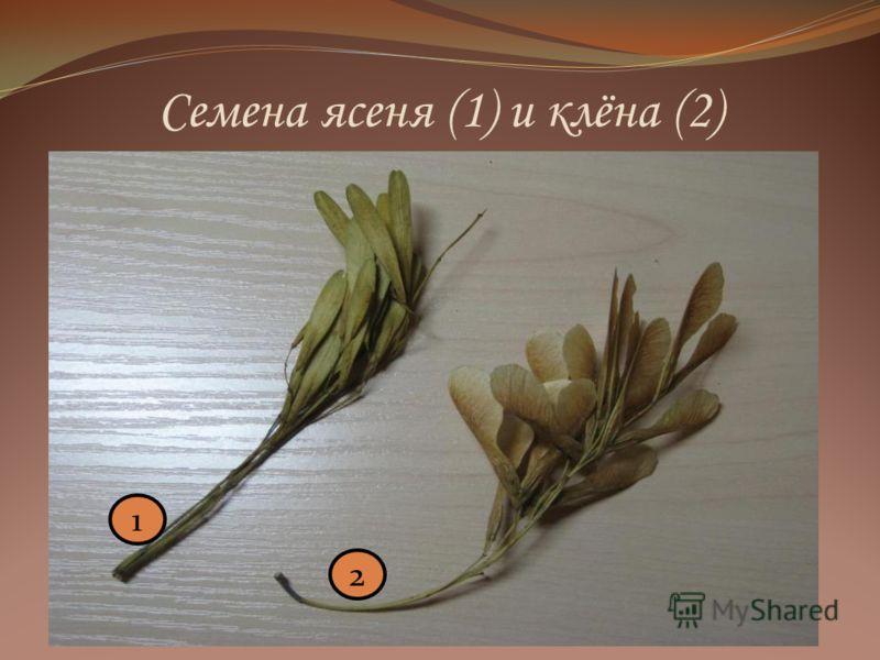 Семена ясеня (1) и клёна (2) 1 2
