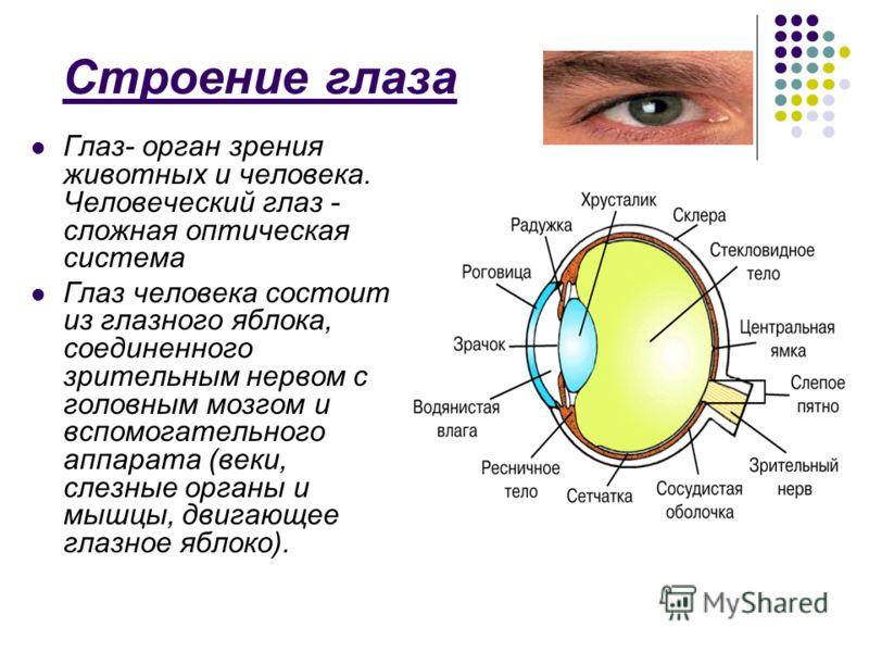Строение глаза Глаз- орган зрения животных и человека. Человеческий глаз - сложная оптическая система Глаз человека состоит из глазного яблока, соединенного зрительным нервом с головным мозгом и вспомогательного аппарата (веки, слезные органы и мышцы