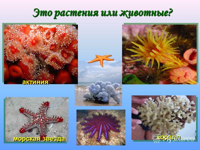 Это растения или животные? Это растения или животные? актиния морская звезда коралл