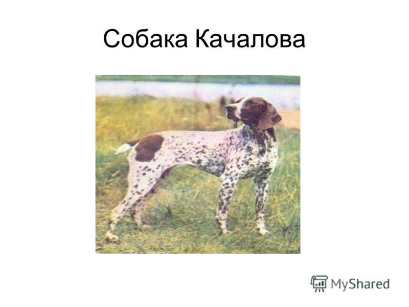 Собака Качалова