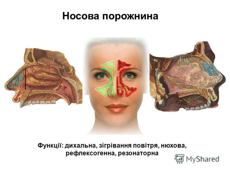 Носова порожнина Функції: дихальна, зігрівання повітря, нюхова, рефлексогенна, резонаторна