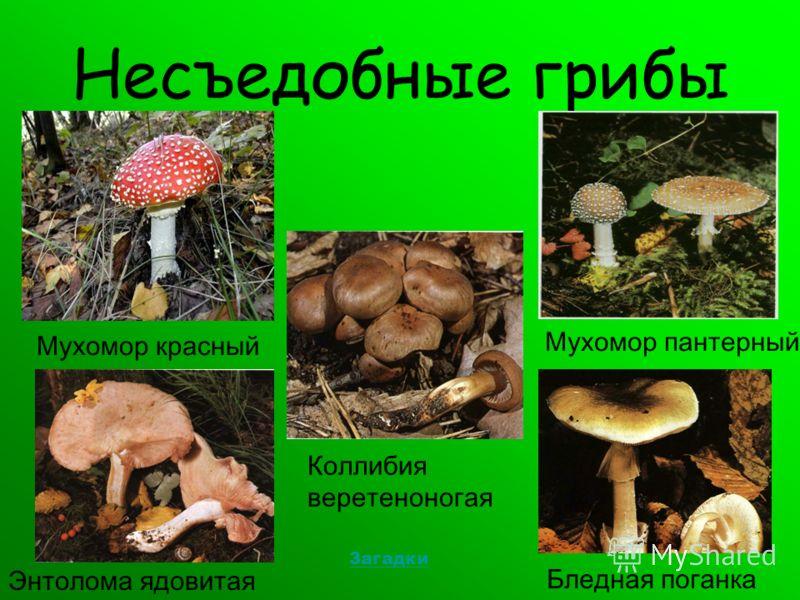 Несъедобные грибы Мухомор красный Бледная поганка Энтолома ядовитая Коллибия веретеноногая Мухомор пантерный Загадки