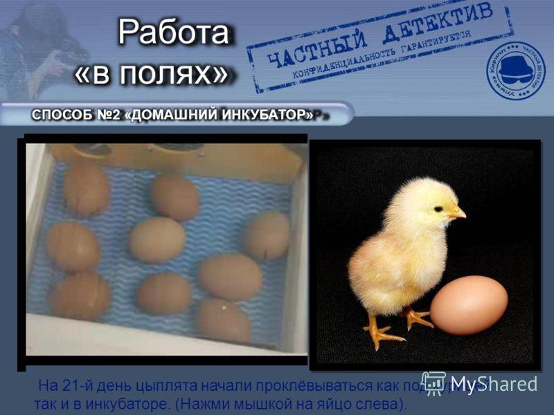 На 21-й день цыплята начали проклёвываться как под курицей так и в инкубаторе. (Нажми мышкой на яйцо слева).