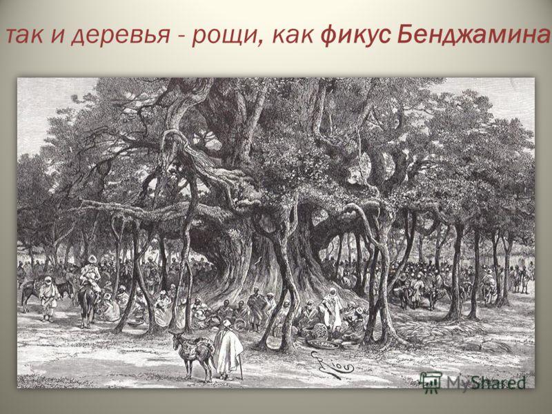 так и деревья - рощи, как фикус Бенджамина.