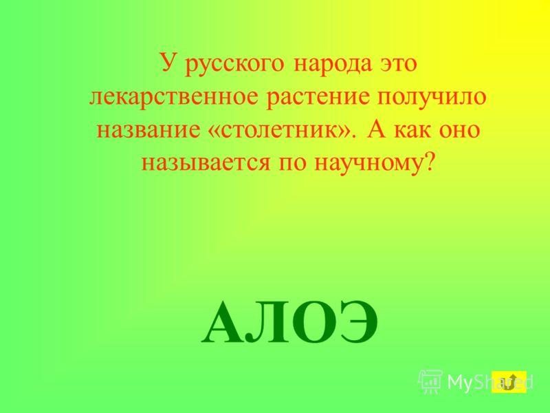 У русского народа это лекарственное растение получило название «столетник». А как оно называется по научному? АЛОЭ