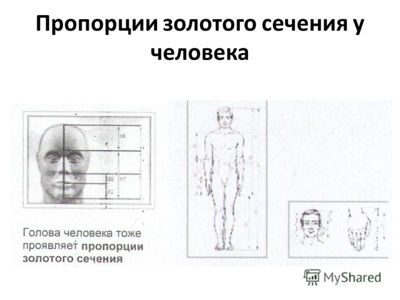 Пропорции золотого сечения у человека