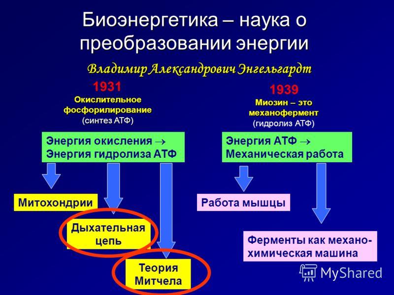 Биоэнергетика – наука о преобразовании энергии Энергия окисления Энергия гидролиза АТФ Владимир Александрович Энгельгардт Окислительное фосфорилирование (синтез АТФ) 1931 Миозин – это механофермент (гидролиз АТФ) 1939 Митохондрии Энергия АТФ Механиче